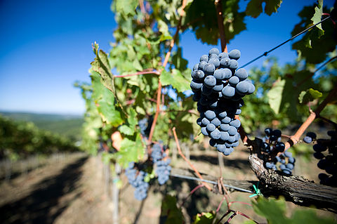 Best grapes for wine making