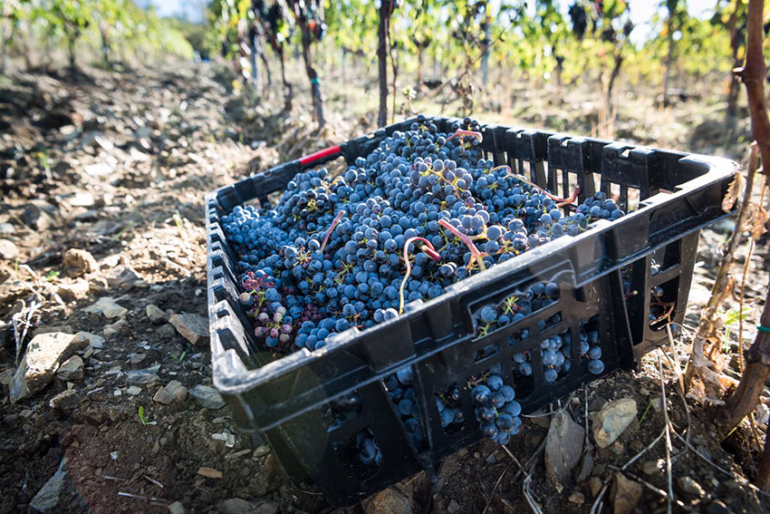 The Harvest Season at Montemaggio